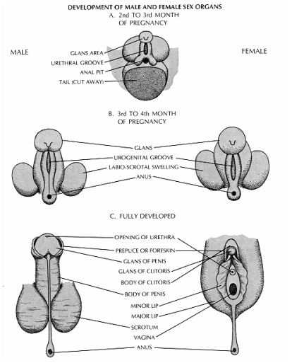 development of sex