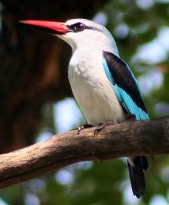 494px-WoodlandKingfisher