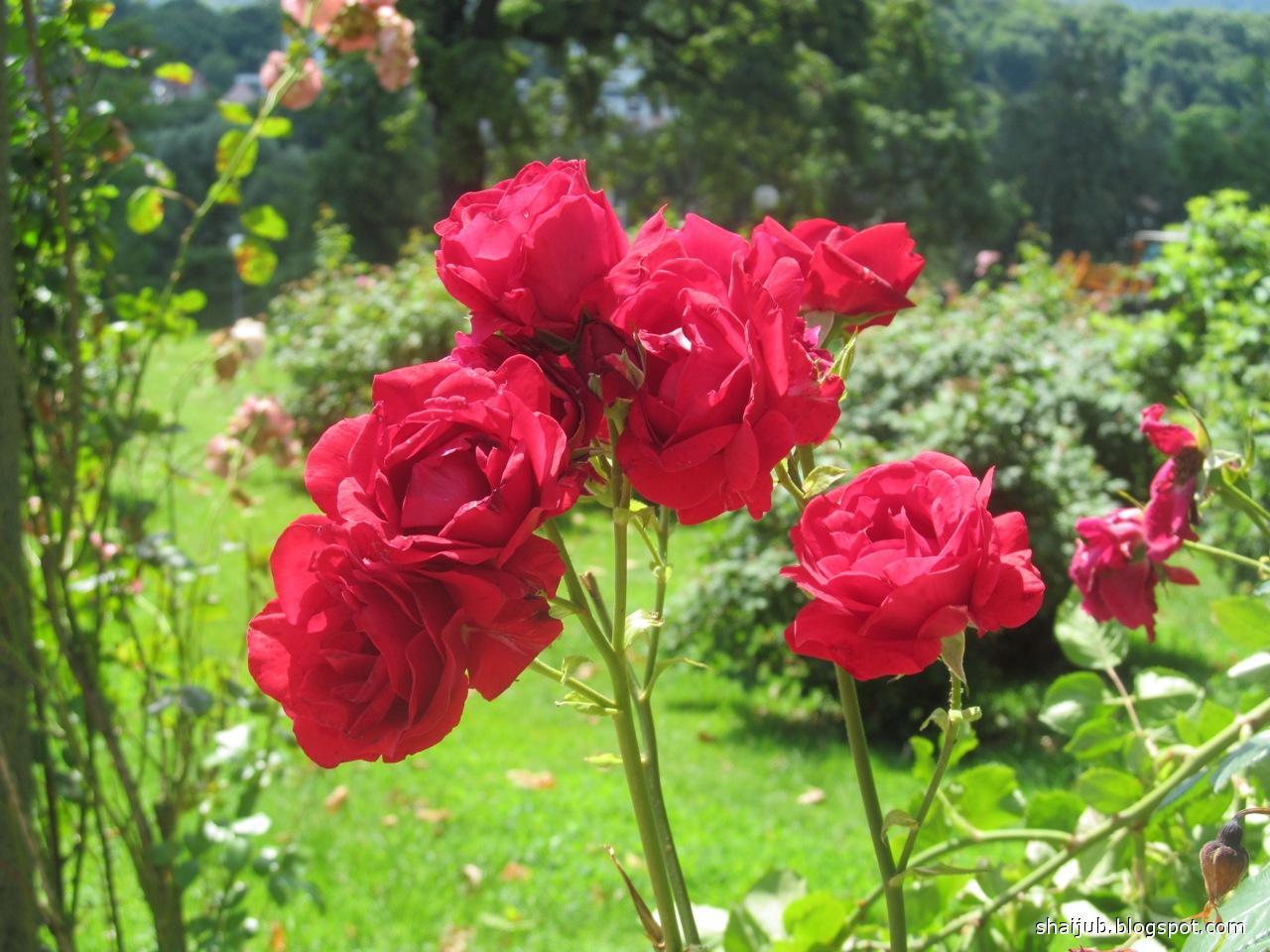 roses for பூக்களைப் பறிக்காதீர் கவிதை