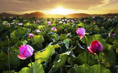 sunrise lotus