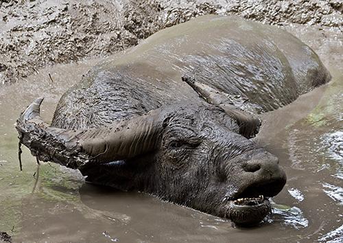 Rinca Island - Water Buffalo mud
