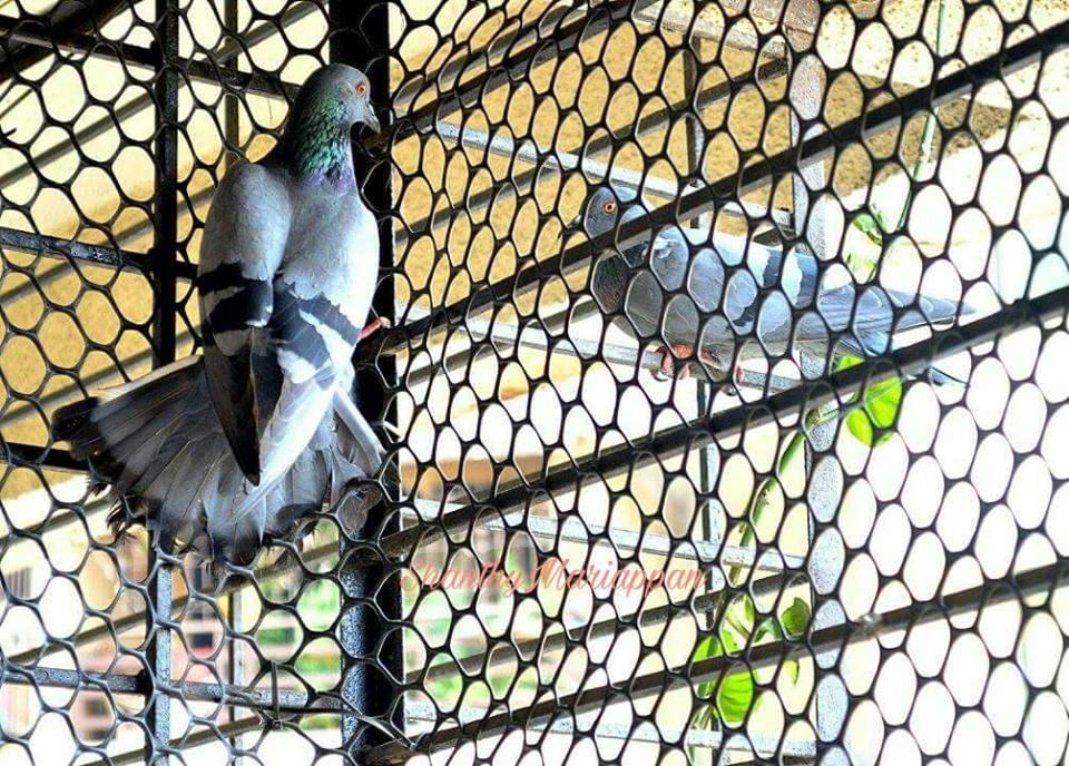 doves in cage