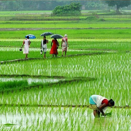 Paddy-field (1)