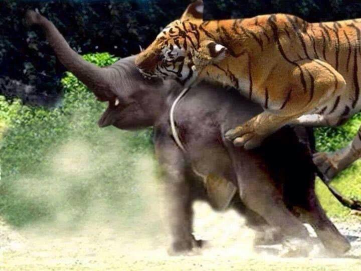 elephant_tiger